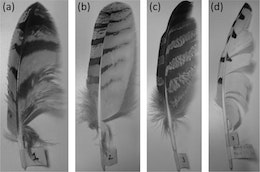 Owl-inspired wing design reduces wind turbine noise by 10 decibels