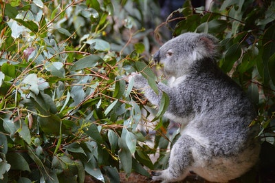 Koala-spotting drones proves a flying success