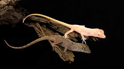 World's first gene-edited lizards