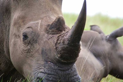 3D printing rhino horn could help reduce poaching