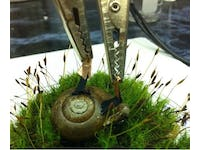 Biofuel cells implanted in snails