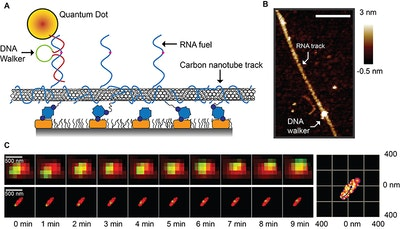 Tiny DNA walker harvests energy from RNA