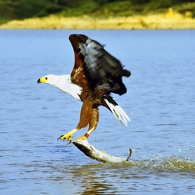 Material can store energy like an eagle's grip