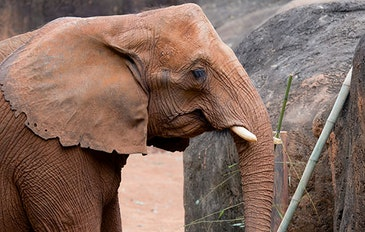 Elephant trunks inspire robotics