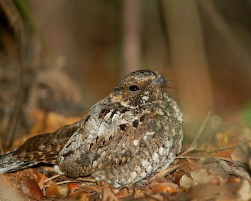 Drones can detect protected nightjar nests